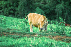 Cow in the country Stock Photography