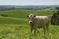 Cow in countryside. Closeup of single cow in green countryside field Stock Image