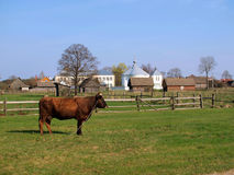 Cow in countryside field. Cow stood in green countryside field with farm buildings in background Stock Photography