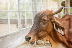 Cow in the countryside zoo. Stock Image