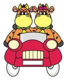 Cow couple in the car. Cow couple in the car on a white background Royalty Free Stock Images
