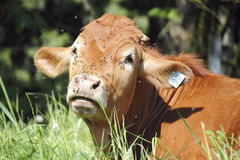 A Cow Covered in Flies Stock Photography