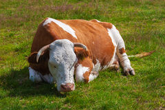 Cow, covered with flies, sleeps on a green meadow Royalty Free Stock Image