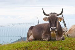 Cow with cow bell Royalty Free Stock Photography