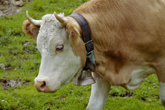 Cow with Cow Bell Stock Photo