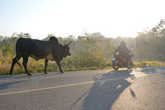 Cow and cow-boy on motocycle. Cow and cow-boy on  motocycle  in country road of thailand Royalty Free Stock Photography