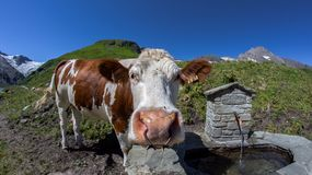 A cow. Drinking from a watering place on pastures in Kaprun, on Kitzsteinhorn, looking funny into the camera stock photos