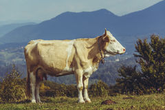 Cow and cow dung Stock Images