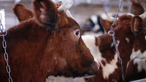 Cow in the cow shed eating hay stock footage