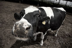 Mad Cow Royalty Free Stock Photo