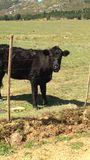 Cow. Standing in field stock photos