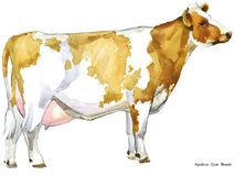 Cow. Cow watercolor illustration. Milking Cow Breed. Ayrshire Cow Breed. Royalty Free Stock Photography