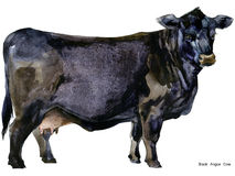 Cow. Cow watercolor illustration. Milking Cow Breed. Black Angus Cow Breed Stock Image