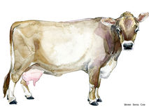 Cow. Cow watercolor illustration. Milking Cow Breed. Brown Swiss Cow Stock Images