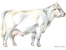 Cow. Cow watercolor illustration. Milking Cow Breed. Charolais Cow Breed Stock Photo