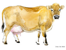Cow. Cow watercolor illustration. Milking Cow Breed. Jersey Cow breed Royalty Free Stock Image
