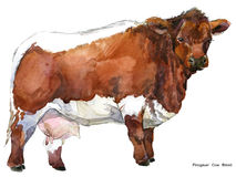 Cow. Cow watercolor illustration. Milking Cow Breed. Pinzgauer Cow Breed. Jersey Cow breed Stock Images