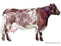 Cow. Cow watercolor illustration. Milking Cow Breed. Shorhthorn Cow Breed Stock Photo