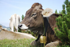 Cow With Cowbell Royalty Free Stock Photo