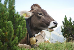 Cow With Cowbell Stock Photography