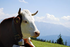 Cow With Cowbell Royalty Free Stock Photography