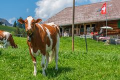 Cow with cowbell in an alpine meadow in the swiss alps in front of a farm with swiss flag. Beautiful cow with cowbell in an alpine pasture in front of a typical royalty free stock images
