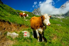 Cow with a Cowbell on a High Mountain Trail in the Alps. Hohe Tauern, Austria royalty free stock image