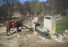 Cow. Cows drink water on wellspring. Royalty Free Stock Images