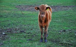 Cow. Cows. Farm Animals. Brown cow on a green field royalty free stock photo