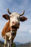 Cow. S on the mountains meadows, in Salciua, Alba county, Romania Stock Image