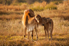 Cow. S stand in the middle the field Royalty Free Stock Photography