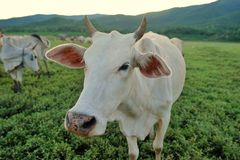 Cows Stock Photography