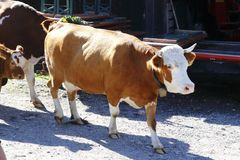 Cow, cows will go from that grazes. Alp royalty free stock photo