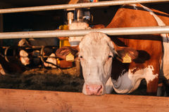 Cow in cowshed Royalty Free Stock Photo