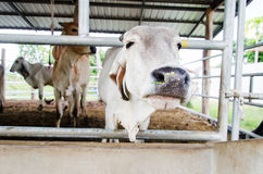 Cow in the cowshed Royalty Free Stock Photography