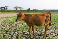 Cow and Cracked earth. Metaphoric for climate change and global warming Royalty Free Stock Photo