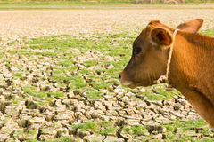 Cow and Cracked earth. Metaphoric for climate change and global warming Royalty Free Stock Photos