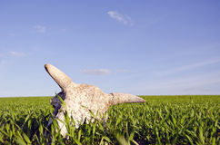 Cow cranium in the crop field. Cow cranium in the spring crop field royalty free stock photography