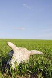 Cow cranium in the spring crop field. And sky stock photo