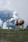 Cow and the cross 2. Cow stood by religious cross Stock Image