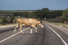 Cow crossing the road Royalty Free Stock Photos