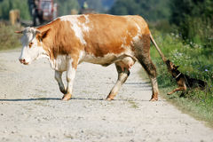 Cow crossing road Royalty Free Stock Image