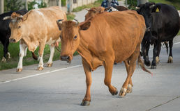 Cow crossing the road stares us Stock Images