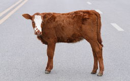 Cow  crossing the road. Cow  walking in the city on the road Stock Photos