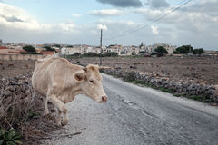 Cow crossing sicilian road Royalty Free Stock Photo