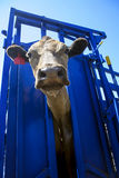 Cow in crush. Looking up at cow in blue crush royalty free stock photo