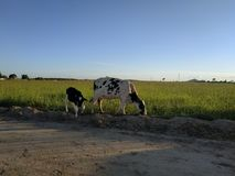 cow and cub royalty free stock photography