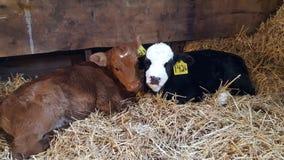 Cow cuddles stock photos