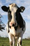 cow curious Στοκ φωτογραφία με δικαίωμα ελεύθερης χρήσης