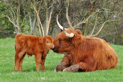 Cow and cute calf of highland cattle Stock Image